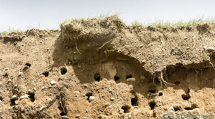 Nesting places of Cliff Swallows on the Lleyn peninsula, photographed by Charles Hawes
