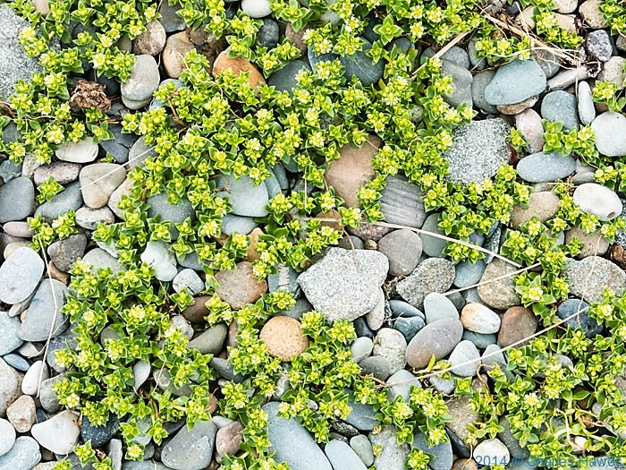 Plant in the sea walls at Pwllheli, photographed by Charles Hawes