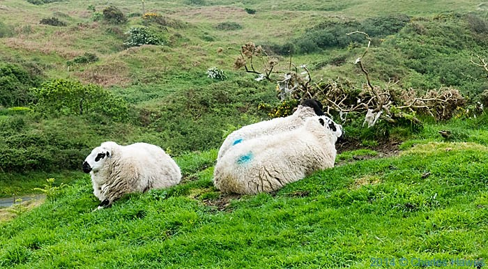 Sheep above Black Rock Sands on the Lleyn peninsula, photographed from The Wales Coast Path by Charles Hawes