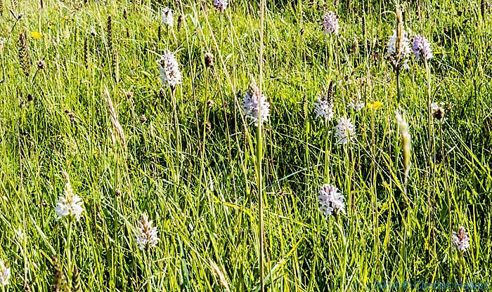 Orchid colony on the Lleyn peninsula near Mynydd Anelog, photographed from The Wales Coast Path by Charles Hawes