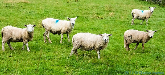 My sheep shot of the day