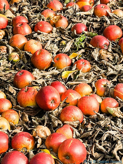 Apples on ground at Nickle farm, near canterbury, photographed from The North Downs Way by Charles Hawes