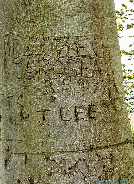 names carved in beech trees near Chartham, Kent, photographed from The North Downs Way by Charles Hawes