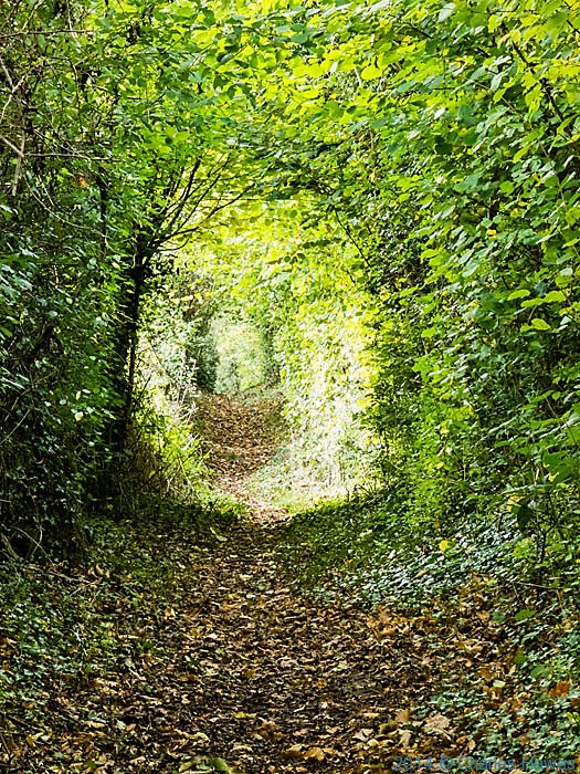 Hazel tunnel on the North Downs Way, photographed by Charles Hawes