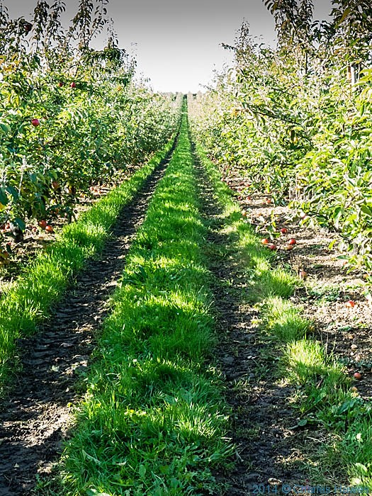 Apple Orchard near Boyden Gate, Kent, photographed from The Saxon Shore Way by Charles Hawes