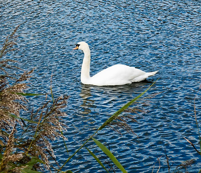 Swan on the river Stour, photographed from The Stour Valley Walk by Charles Hawes