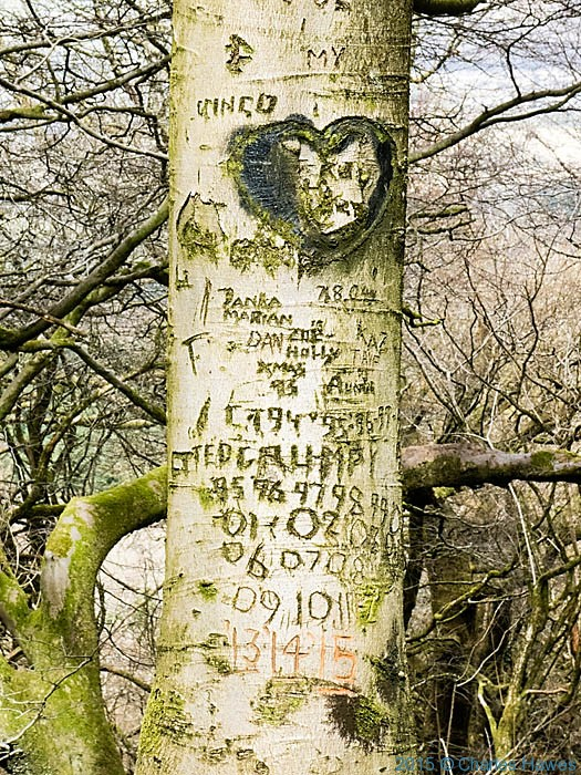 Tree graffiti on beech trunk in The Warren, Caerphilly, photographed by Charles Hawes