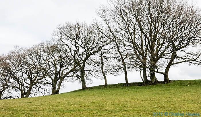 Beech near Coed Coesau whips, photographed by Charles Hawes
