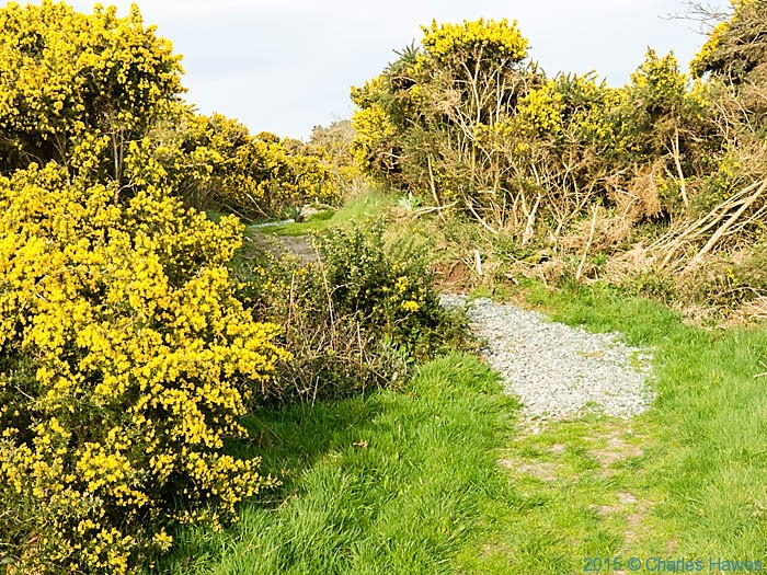 Gorse on the wales Coast Path near Beaumaris, Anglesey, photographed from The Wales Coast Path by Charles Hawes