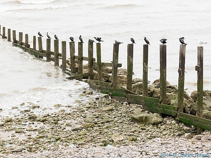 Birds perched on groynes near Llanddulas, photographed from The Wales Coast Path by Charles Hawes