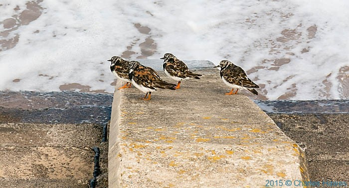 Turnstones on the breakwater between Rhyl and Prestatyn, photographed from The Wales Coast Path by Charles Hawes