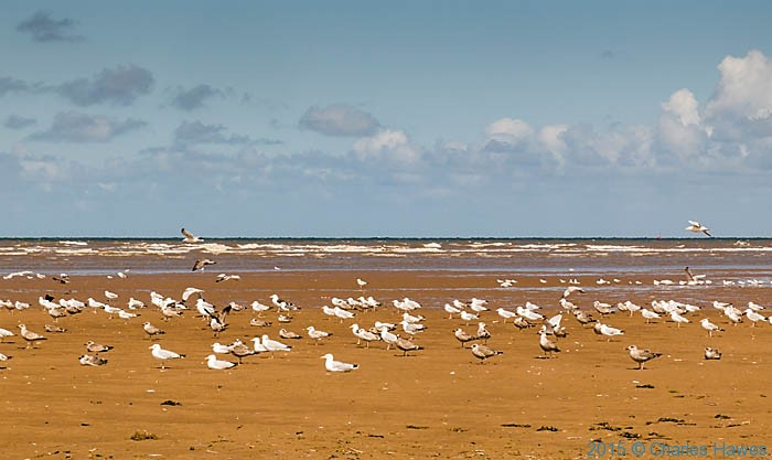Gulls on Presthaven Sands, photographed from The Wales Coast Path by Charles Hawes