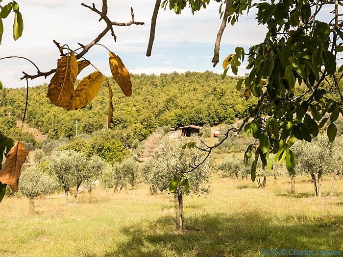 Olive grove at edge of wood near Badia a Passignano, Tuscany, photographed by Charles Hawes