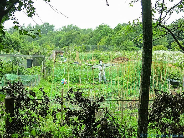 Allotments at Whitchuch, Cardiff, photographed on the Cambrian Way by Charles Hawes