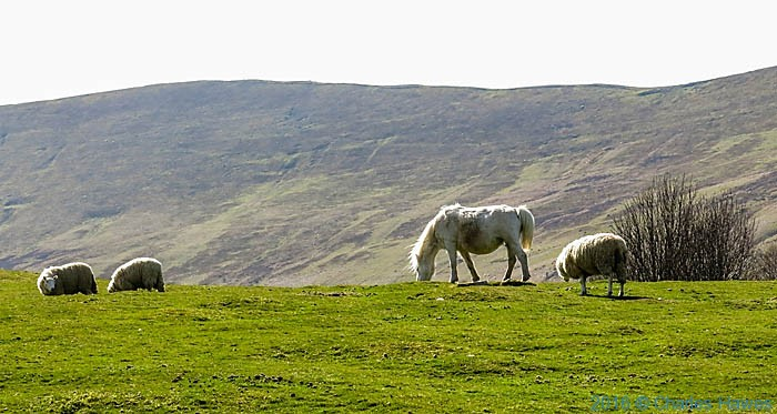 sheep and horse below Pen y Fan, photographed by Charles Hawes