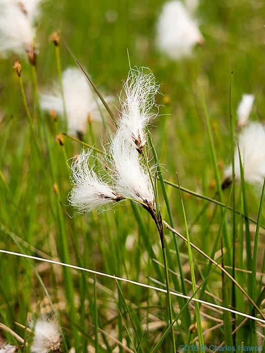 Cotton Grass on Knoydart, Scotland, photographed by Charles Hawes