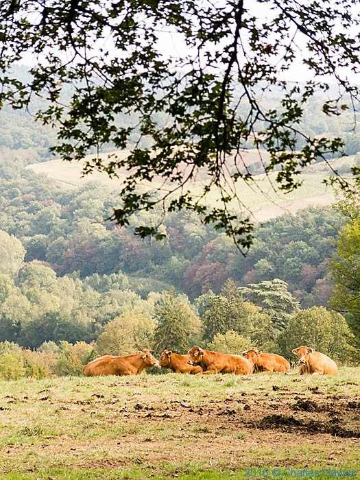 Cattle near Turenne, France, photographed by Charles Hawes