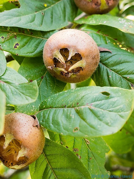 Medlar, photographed from the GR480 in France by Charles Hawes