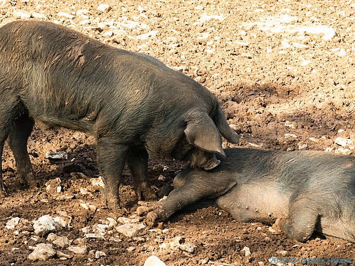 Pigs outside Loubressac, France, photographed from the GR652 by Charles Hawes