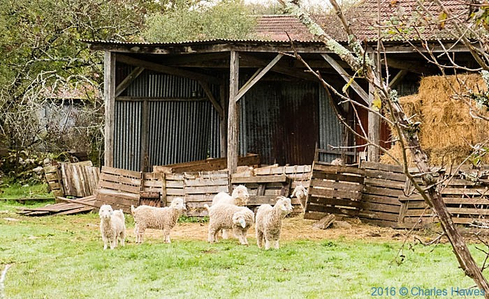 Angora goats at Le Ferme de Siran, near Loubressac, France, photographed by Charles Hawes