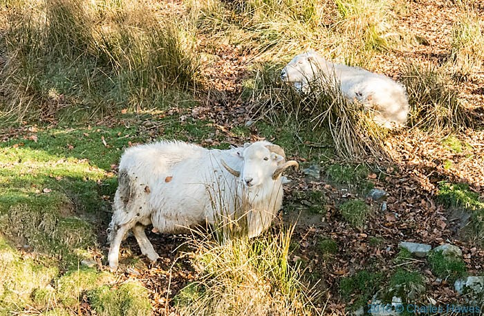 Sheep on the Cambrian Way in the upper Doelithe valley, photographed by Charles Hawes