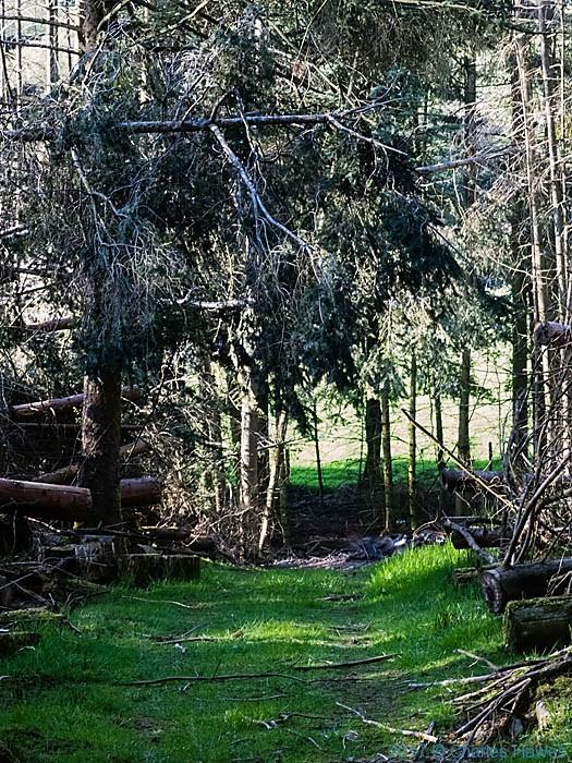small conifer plantation near Llanarmon Dyffryn Ceiriog, photographed by Charles Hawes