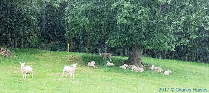 Sheep near Llandrillo, photographed by Charles Hawews