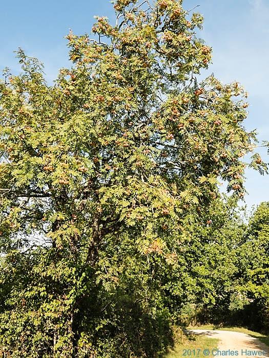 Sorbus domestica f. pomiferya near Belaygue, France, photographed by Charles Hawes