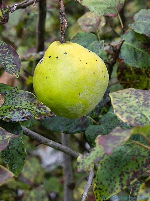 Quince near Vieux, France, photographed by Charles Hawes