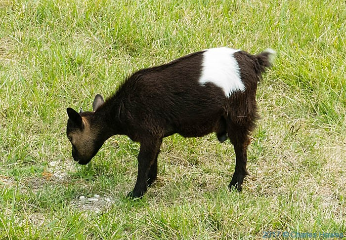 Goat in garden near Roussayrolles, France, photographed by Charles Hawes