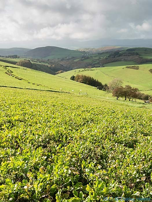 Field of beet on the Cambrian Way near Commins Coch, photographed by Charles Hawes
