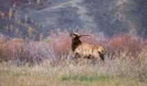 Running elk, September 9, 2013