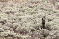 Sage of Yellowstone