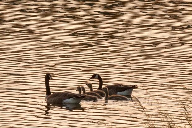 Canada Goose Family Swimming In Lake