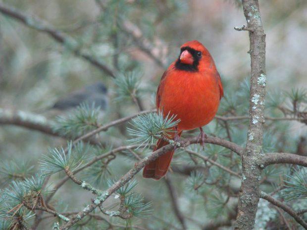 Cardinal by Charles Davidson