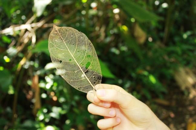 Hacienda Baru leaf