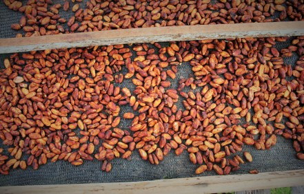 Delicious red cacao beans