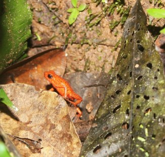 Red frog at Samasati - Charlie on Travel (2)