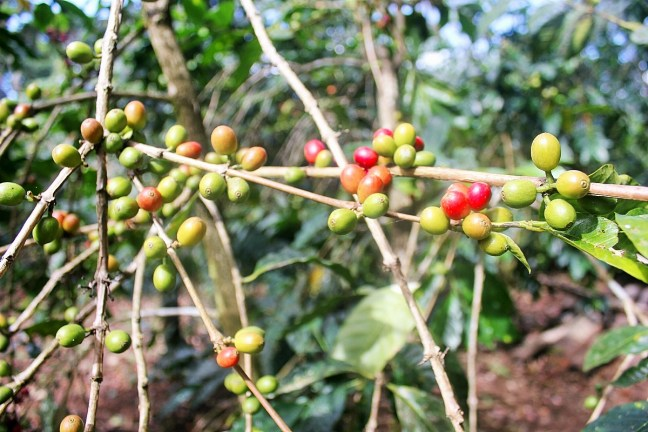 Coloured coffee growing coffee finca Boquete Panama - Charlie on Travel