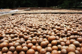 Macadamia nuts drying out