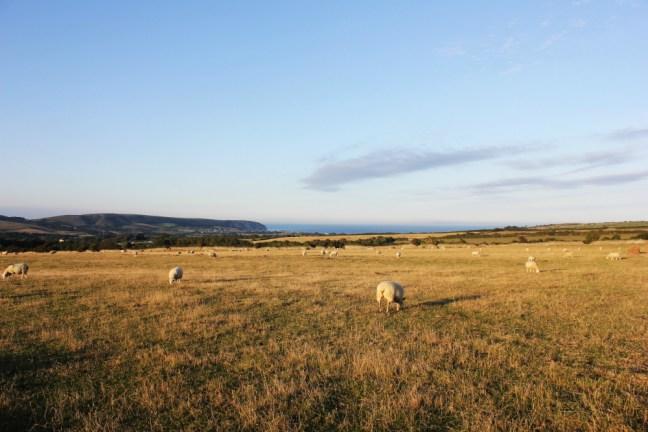 Dancing Ledge Dorset Sheep in Toms Field campsite