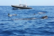 Swim with whale sharks in Isla Holbox
