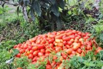 Tomato harvest at the community garden