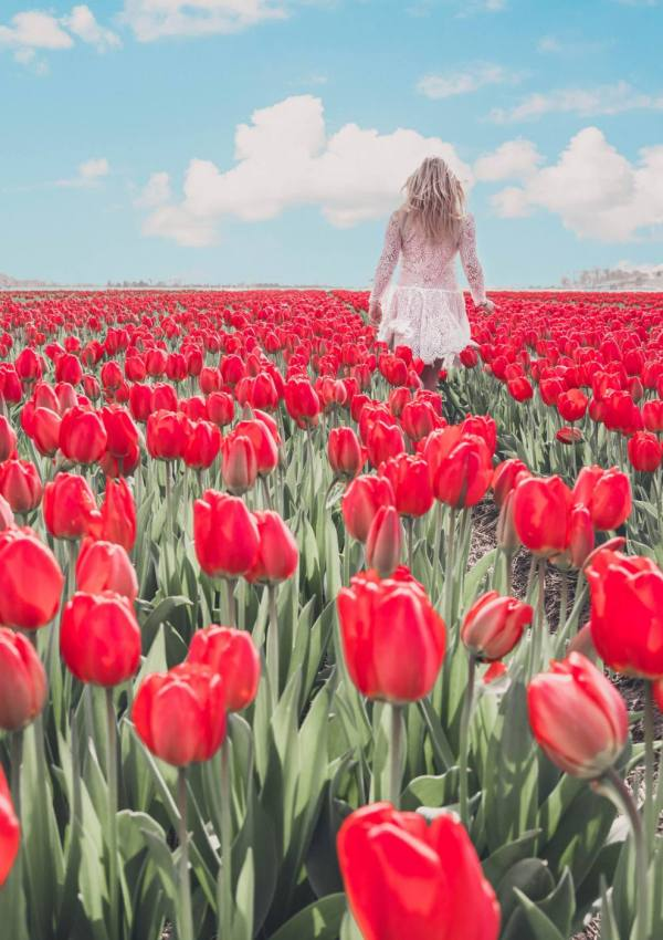 How to visit the Tulip Fields in Holland
