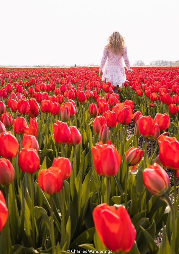 The Best Place to see Tulips in Belgium – Map Included