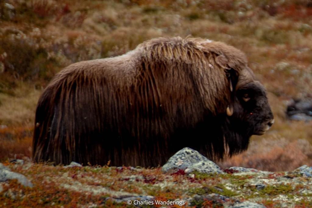 Where To See The Musk Ox In Dovrefjell National Park In Norway