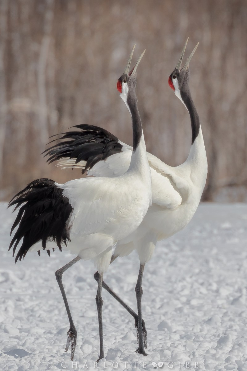 Japan: Part Three — Japanese Cranes – Charlotte Gibb ... - photo#39