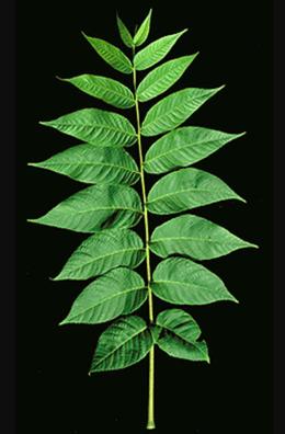 bw_leaf