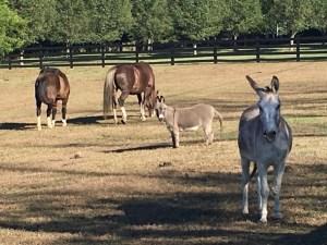 Donkeys along Woodlands Road in Earlysville
