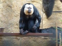 The male white faced saki monkey.